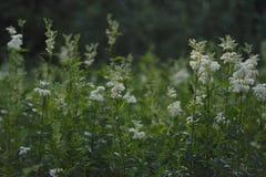 Meadowsweet. Field grass in the light of morning sun. Meadowsweet Stock Photos