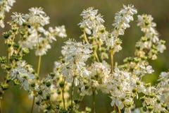 Meadowsweet Filipendula ulmaria, blomningväxter Arkivfoto