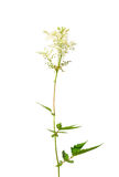 Meadowsweet (Filipendula ulmaria). Colorful and crisp image of meadowsweet (Filipendula ulmaria Stock Photography