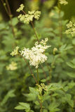Meadowsweet Royalty Free Stock Image