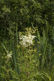 Meadowsweet. Filipendula ulmaria, commonly known as meadowsweet or mead wort. This plant contains salicylic acid & x28;the basis of aspirin& x29 Stock Photos