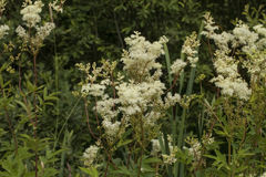 Meadowsweet. Filipendula ulmaria, commonly known as meadowsweet or mead wort. This plant contains salicylic acid & x28;the basis of aspirin& x29 Stock Photo