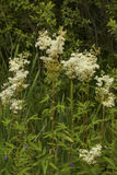Meadowsweet. Filipendula ulmaria, commonly known as meadowsweet or mead wort. This plant contains salicylic acid & x28;the basis of aspirin& x29 Stock Images