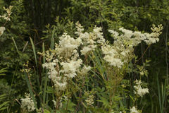 Meadowsweet. Filipendula ulmaria, commonly known as meadowsweet or mead wort. This plant contains salicylic acid & x28;the basis of aspirin& x29 Royalty Free Stock Image