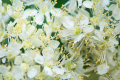 Meadowsweet (Filipendula ulmaria) detail of flowers. Close up of inflorescence of white flowered plant in the rose family (Rosaceae Royalty Free Stock Photo