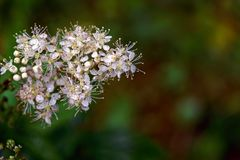 Meadowsweet Filipendula ulmaria. Flowers in the natural background of green leaves. Meadowsweet Filipendula ulmaria. Flowers in the natural background Stock Photos