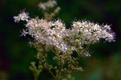 Meadowsweet Filipendula ulmaria. Flowers in the natural background of green leaves. Meadowsweet Filipendula ulmaria. Flowers in the natural background Stock Image