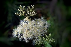 Meadowsweet Filipendula ulmaria. Flowers in the natural background of green leaves Royalty Free Stock Image