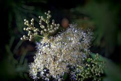 Meadowsweet Filipendula ulmaria. Flowers in the natural background of green leaves Royalty Free Stock Photos