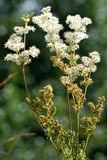 Meadowsweet (Filipendula ulmaria) Royalty Free Stock Photography