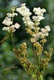 Meadowsweet (Filipendula ulmaria) Royalty Free Stock Photography