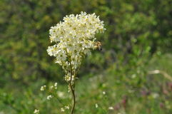 Meadowsweet flower. Filipendula ulmaria or Meadowsweet flower or mead wort Royalty Free Stock Photo
