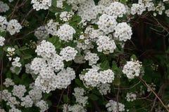 Meadowsweet flowering bush Royalty Free Stock Image