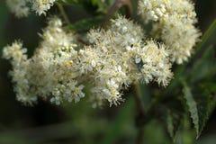 Meadowsweet flowers. Amacro photo of meadowsweet flowers (Filipendula ulmaria Stock Images