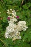 Meadowsweet flowers Stock Image