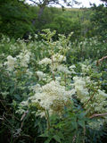 Meadowsweet flowers. Meadowsweet (Filipendula ulmaria) flowers in a marsh with a background of trees and other meadowsweet flowers and plants Royalty Free Stock Images