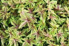 Meadowsweet foliage Stock Photo