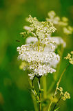Meadowsweet on a green background Royalty Free Stock Image