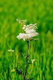 Meadowsweet on a green meadow. White meadowsweet flower on a background of green grass Stock Image