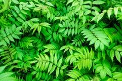 Meadowsweet leaves Stock Photo