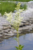 Meadowsweet or mead wort, Filipendula ulmaria, blossom near small pond with bokeh background, close-up Royalty Free Stock Images