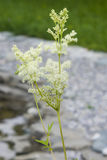 Meadowsweet or mead wort, Filipendula ulmaria, blossom near small pond with bokeh background, close-up, selective focus Stock Photos