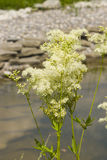 Meadowsweet or mead wort, Filipendula ulmaria, blossom near small pond with bokeh background, close-up. Selective focus, shallow DOF Stock Photo
