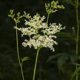 Meadowsweet or mead wort, Filipendula ulmaria, blossom in woods with dark bokeh background close-up, selective focus Stock Image