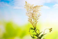 Meadowsweet, medical plant, aromatic plant Royalty Free Stock Photo