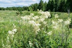 Meadowsweet nos Ural imagens de stock royalty free