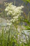Meadowsweet ou moût d'hydromel, ulmaria de Filipendula, fleurissent près du petit étang avec le fond de bokeh, plan rapproché Images libres de droits