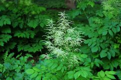 Meadowsweet plant with buds in a garden. Detail of a garden in springtime with a meadowsweet plant before flowering Royalty Free Stock Photos