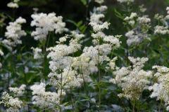 Filipendula ulmaria white meadowsweet flowers. Meadowsweet plant Filipendula ulmaria flowering in a forest Royalty Free Stock Photos