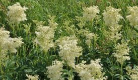 Meadowsweet. Is a pretty tall species that usually do not bloom until after midsummer. It has been used for its well fragrance.  has also been used for Stock Image