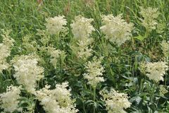 Meadowsweet. Is a pretty tall species that usually do not bloom until after midsummer. It has been used for its well fragrance.  has also been used for Royalty Free Stock Photo