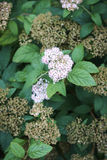 Meadowsweet spirea white small nice blossoms in green leaves Stock Photos