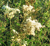 Meadowsweet in summer. White beauty flowers of meadowsweet in summer sunny field Stock Photos