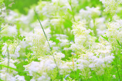 Meadowsweets. Field of white summer wildflowers stock photos