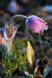 meadowy blomma Royaltyfria Foton