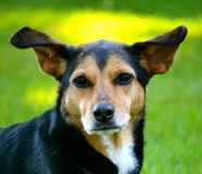 Meagle-Min-Pin Beagle Mixed Breed Dog. Meagle - Min-Pin Beagle Mixed Breed Dog Royalty Free Stock Photo