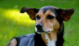 Meagle-Min-Pin Beagle Mixed Breed Dog Stock Photo