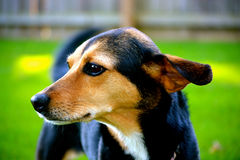 Meagle-Min-Pin Beagle Mixed Breed Dog Stock Photography