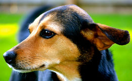 Meagle-Min-Pin Beagle Mixed Breed Dog Stock Image