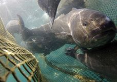 Meagre fish on fishing nets Stock Photo