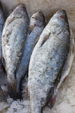 Meagre fish with ice in fish market royalty free stock photos