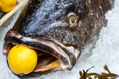 Meagre fish with a lemon in the mouth Stock Photos