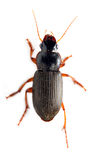 Meal-beetle - Tenebrio molitor. Adult Tenebrio molitor (Meal-beetle) - Mealworms are commonly used as feed for reptiles, fish, and birds Royalty Free Stock Photo