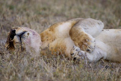 After meal dip. Lion sleeping after having eaten meat. Still blood on his mouth Stock Images