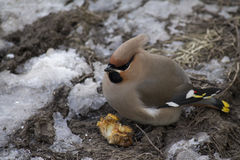 The meal of a fat Bohemian waxwing Bombycilla garrulus royalty free stock images