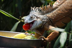 The meal of iguana Royalty Free Stock Photography